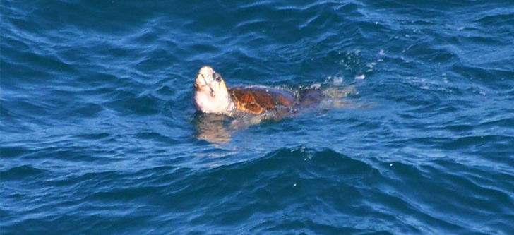 One of the locals saying 'hi' (Green turtle)